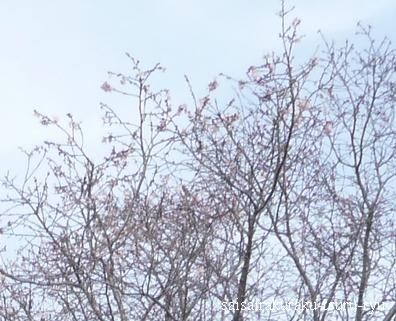 桜02P1290334.jpg