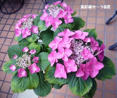 アジサイ01 P1180450.jpg
