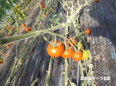 トマト01ブログ P1150978.jpg