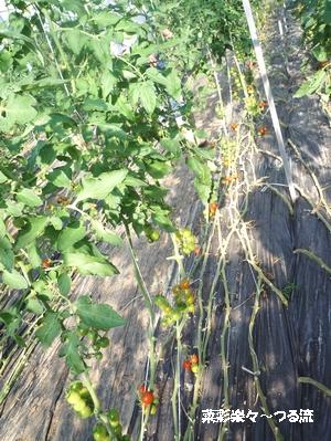 トマト02ブログ P1150975.jpg