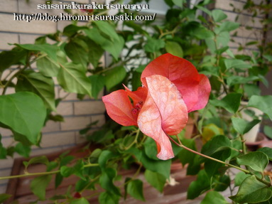 ブーゲンビリア01 P1210802.jpg