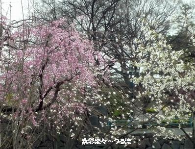 sakuraブログ P1170104.jpg